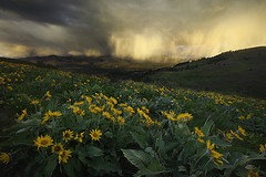 Springtime, Methow Valley (KPieper) Tags: flowers storm rain clouds washington spring winthrop balsamroot methowvalley cs5 kpieper pieperphotographynet 5d2