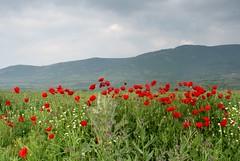 poppies and chamomile (kosova cajun) Tags: landscape macedonia balkans papaverrhoeas lule makedonija  peisazh southeasterneurope maqedonia