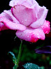 spring showers (bdaryle) Tags: pink flower nature rose droplets petals spring sony flor rosa explore raindrops awesomeblossoms brandondaryle bdaryle imagesbybrandon