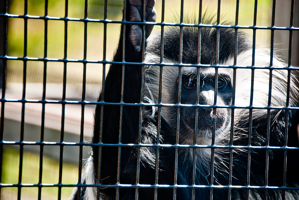 colobus at the zoo