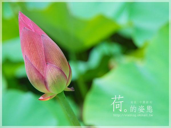 【2010賞荷】南投中興新村~荷花(蓮花)池準備盛放!7