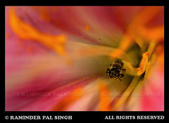 "Let it ""Bee"" (Raminder Pal Singh) Tags: pink macro nature colors yellow petals spring wings colorful nectar pollen multicolored refreshing amritsar bestofflickr tentacles pollination bestshots vibrantcolors flowermacro beeonflower canonshot vibrantcolours colorsofindia flowerphotography bestflowers niceflowers colorfulflower canon50d flickrsbest abeautifulflower raminderpalsingh beecollectingnectar insideofflower shotoncanon floweronflickr flowersurface colorsofaflower"