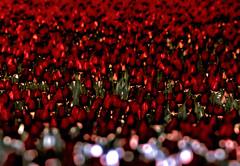 [フリー画像] 花・植物, ユリ科, チューリップ, 花畑, レッド, 201005280100