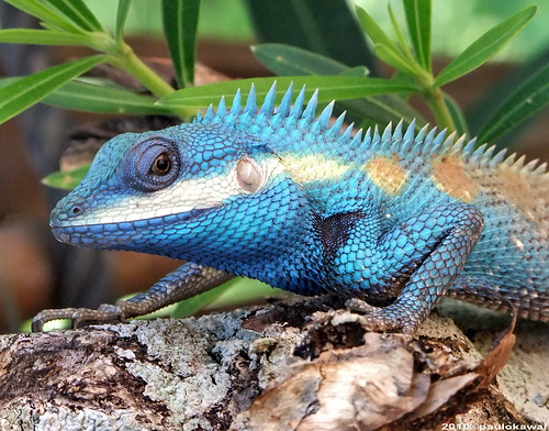 another name is the indo chinese forest lizard they are also called blue headed agamas they eat insects they can grow up to 14cm long