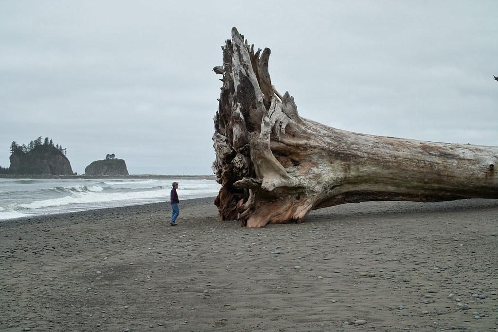 La Push First Beach tree