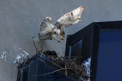 alewife hawks 018