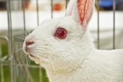 Follow The White Rabbit (tj.blackwell) Tags: show west rabbit tourism rural countryside yorkshire event albino redeye local agricultural 2010 wharfedale otley pinkeye redeyes albinism otleyshow