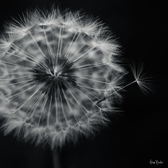 poof ([Adam Baker]) Tags: summer bw white black nature monochrome grass canon weed escape dof bokeh grow minimal dandelion cornell ithaca simple plantations dandi neural adambaker 50mm25macro 5dmarkii petob
