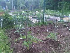 caged tomato