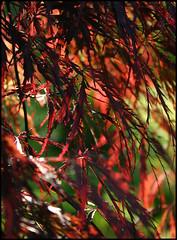 Acer palmatum 'Dissectum Nigrum' (Prinz Wilbert) Tags: fächerahorn frühjahr frühling spring springtime printemps primavera lenz lente весна germany europa europe rot red rouge rojo rosso vermelho красный allemagne plant geschlitztblättrig japapanischer japanese maple variety palmatum dissectumnigrum rotlaubig elbuferpromenade ziergehölz blätter laub acer pflanze foliage растение plante roślina pianta vegetal prinzwilbert flickr
