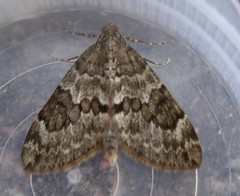 Spruce Carpet moth
