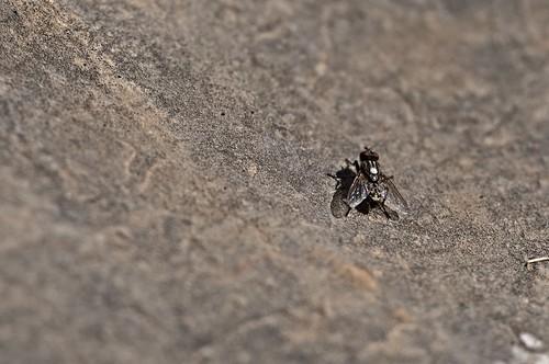 la mosca en la montaña