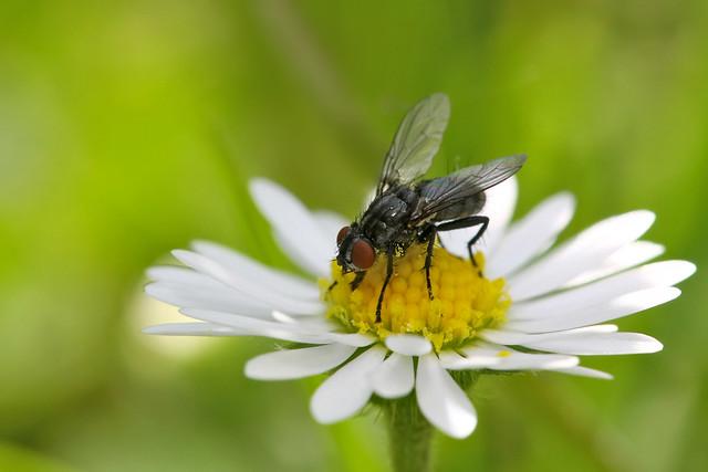Tachinidae sp. sur une paquerette