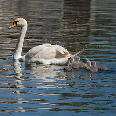 Proud mother swan with 7 cygnets ( one behind her) (grannie annie taggs) Tags: blue reflection nature water swan reflexions mywinners platinumphoto mygearandme mygearandmepremium mygearandmebronze mygearandmesilver