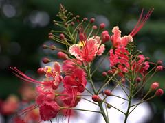 Poincina (Caesalpinia pulcherrima) (Don Perucho) Tags: flores tree flora arboles venezuela caracas flamboyan leguminosa inflorecensia