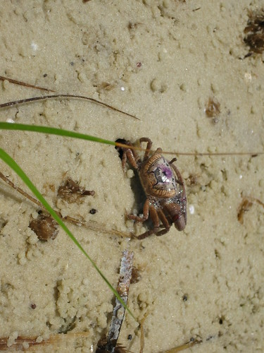 Fiddler crab in St. Joseph Bay.
