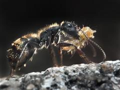 Instinto maternal (Jorge E Surez) Tags: nationalgeographic hormiga macrofotografa