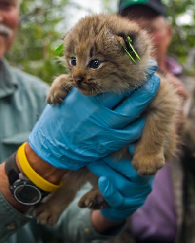Canadian Lynx Kitten. Canada Lynx kitten