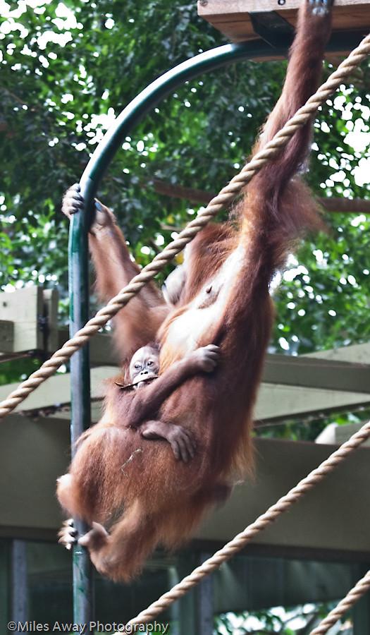 Orangutan - Swinging Cling