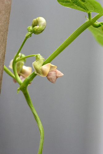 cobra bean flower