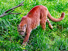 Cougar on the move (Todd Ryburn) Tags: nature animals cat walking illinois wildlife puma cougar 2010 wpsp wildlifeprairiestateparks