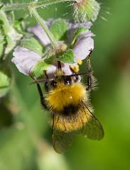 Bumblebee (Cath Scott) Tags: garden early glasgow wildlife bee bumblebee buff geranium tailed nesting bombus terrestris qpcc pratorum