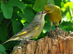 Old Greenfinch feeding fullgrown chick (Jan Visser Renkum) Tags: nature feeding natuur greenfinch carduelischloris voeren europeangreenfinch groenling