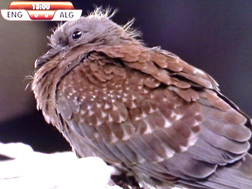 Juvenile speckled pigeon3