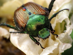 Japanese Beetle (BlueRidgeKitties) Tags: plant flower macro bug insect beetle botany pest entomology japanesebeetle popilliajaponica popillia raynoxdcr250 ccbyncsa taxonomy:class=insecta taxonomy:kingdom=animalia taxonomy:order=coleoptera taxonomy:phylum=arthropoda taxonomy:family=scarabaeidae plantinsectinteraction canonpowershotsx10is taxonomy:binomial=popilliajaponica taxonomy:genus=popillia taxonomy:common=japanesebeetle