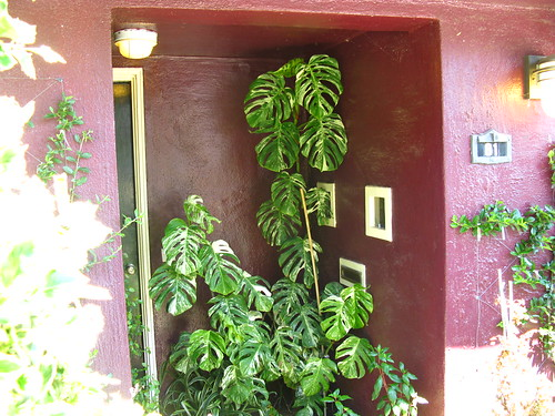 "Even in SF, variegated Monstera deliciosa doesn't ""just happen"" next to a purple house."