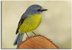 Eastern Yellow Robin (aaardvaark) Tags: nationalpark australia vic easternyellowrobin eopsaltriaaustralis croajingalong thurrariver 201010030615yero2