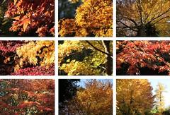 Westonbirt colours Yellow (Heaven`s Gate (John)) Tags: autumn trees england fall nature leaves yellow landscape botanical october colours gloucestershire westonbirt johndalkin heavensgatejohn arbourtum