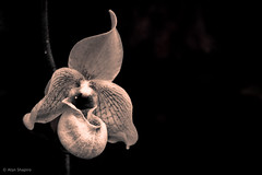 An Orchid full of bravado (alan shapiro photography) Tags: orchid sepia canon mono orchids exploring wandering 2010 roaming alanshapiro flowerphotography gardenphotography fantasticflower natureplus wonderfulworldofflowers awesomeblossoms monochromeflowers monochromegarden anotherdayinthegarden ©2010alanshapiro alanshapirophotography monochromeflowerphotography monochromeblooms monochromeblossoms momentsofmonochromebeauty flowerphotographybyalanshapiro wwwalanwshapiroblogspotcom ©2010alanshapirophotography