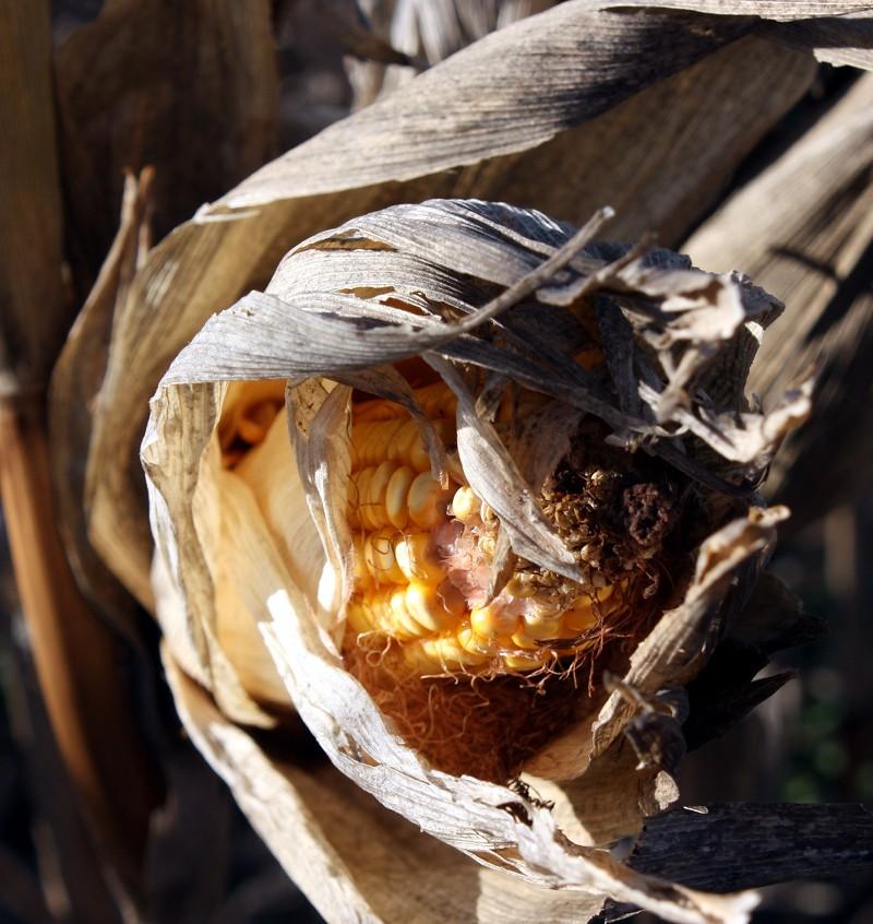 Maze Corn