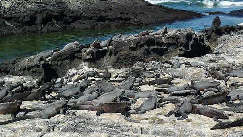 Marine Igaunas - Galapagos Islands, Ecuador