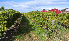 Niagara-on-the-Lake (A Great Capture) Tags: blue red canada green barn vines farm grapes grape grapevine niagaraonthelake on ontairo ald ash2276 ashleyduffus ald ashleysphotographycom ashleysphotoscom ashleylduffus wwwashleysphotoscom