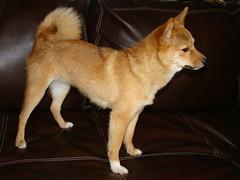 dog pet cute animal photos pics kai trick therapy pooch shibainu shiba tra taro mameshiba tar0 tar0shiba taroshiba tarotheshiba httptar0shibatumblrcom