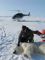 A USFWS Polar Bear Biologist Working With a Bear (USFWSAlaska) Tags: alaska polarbear climatechange marinemammal usfws scientist seaice biologist ursusmaritimus threatenedspecies arctichabitat