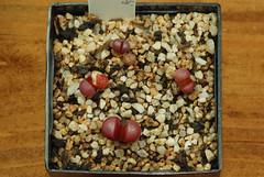 1er juillet 2017 - Lithops meyeri 'Hammeruby' ex-C272A, 213 jours (Mafate79) Tags: 2017 lithopsmeyerihammerubyexc272a aizoaceae aizoacées aizoacée mesemb mesembryanthemaceae mesembryanthemacées mesembryanthemacée plante semis s16073