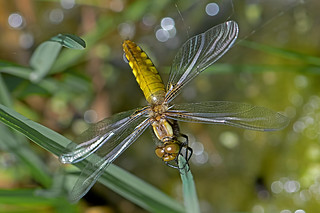 Libellula depressa - the Broad-bodied Chaser (freshly emerged female)