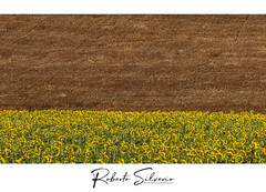 P7020123 (Roberto Silverio) Tags: girasoli yellow orange grano siena tuscany italy robertosilveriophotography olympuscamera olympusitalia getolympus esolympus olympusuk love zuiko zuikodigital zuikolens