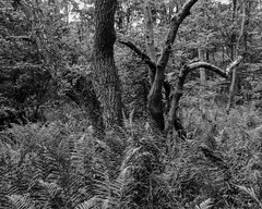 Trees emerging from ferns (Hyons Wood) (Jonathan Carr) Tags: black white monochrome landscape rural northeast toyo45a 4x5 5x4 largeformat