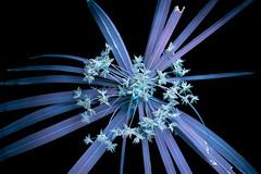 Umbrella Grass (C. Burrows) Tags: umbrella grass cyperus glowing seeds uvivf