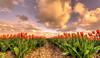 Under a Dutch sky. (Alex-de-Haas) Tags: oogvoornoordholland 1635mm d750 dutch europe hdr holland nederland nederlands nikkor nikon noordholland thenetherlands bloei bloem bloemen bloemenbijeenkomst bloemenveld clouds flower flowerfields flowerbed flowers landscape landschap lucht nature natuur plant skies sky tulip tulipfields tulipa tulips tulp tulpen tulpenvelden wolken