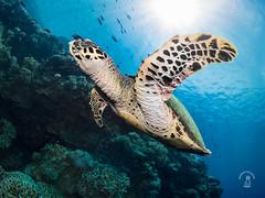 bohol diving (kkshxt) Tags: bohol panglao diving scuba balicasag doljo 潛水 菲律賓 薄荷 海龜 能見度 viz