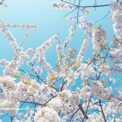 le goût de la cerise (FRJ photography) Tags: 44 5dmarkiv breizh bzh blue bretagne canon flower loireatlantique nantes naoned raezaé reudied rezé square arbre bleu breton cerise couleur europe fleur nantais paysderetz paysnantais printemps soleil spring sun tree