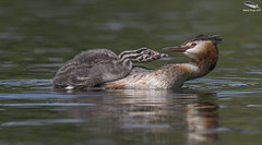 Great Crested Grebe & Chick (Mick Erwin) Tags: greatcrestedgrebe great crested grebe nikon afs 600mm f4e fl ed vr lens tc14e teleconverter iii d810 mick erwin stoke trent staffordshire wildlife nature