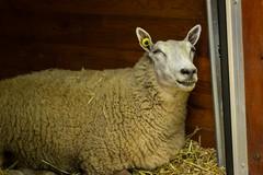 (marina~) Tags: halton mountsberg animal sheep farm ontario canon milton conservation