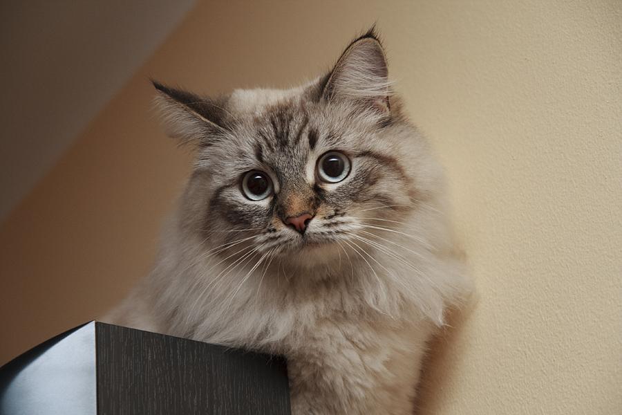 Kot simona / Simon's Cat
