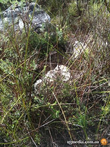 Eastern crevice skink (Egernia mcpheei)